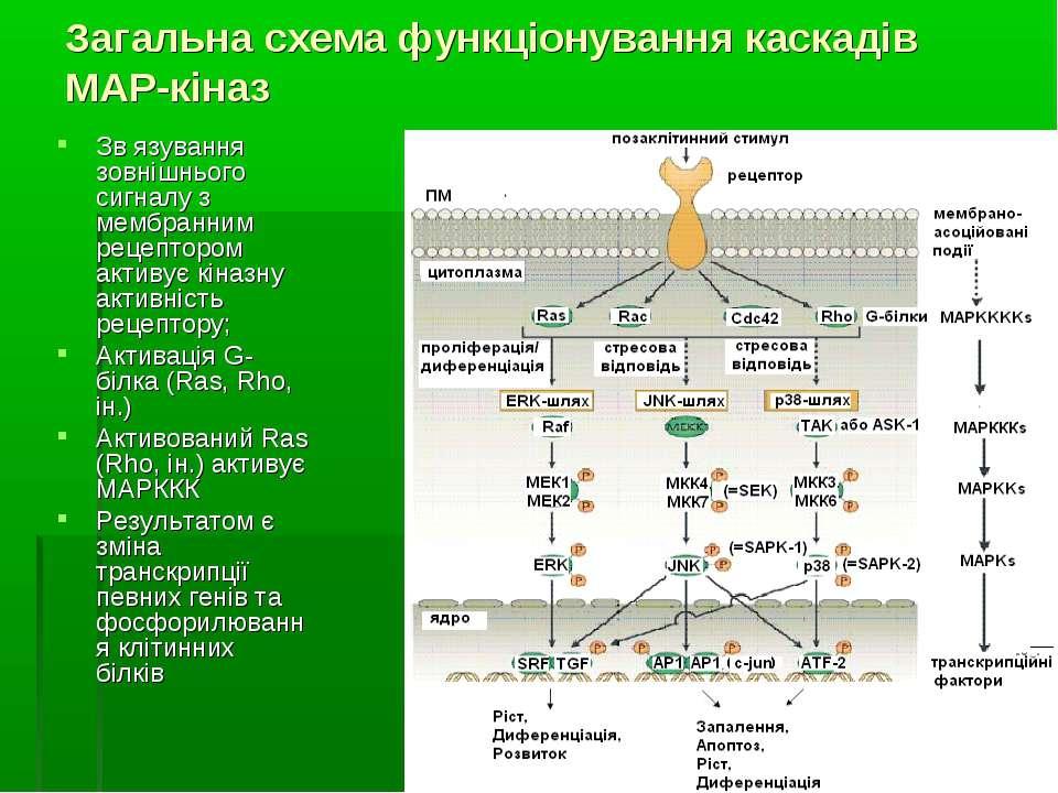 Загальна схема функціонування каскадів МАР-кіназ Зв язування зовнішнього сигн...