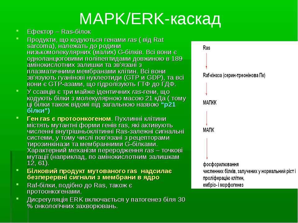 MAPK/ERK-каскад Ефектор – Ras-білок Продукти, що кодуються генами ras ( від R...