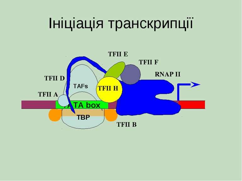 Ініціація транскрипції TATA box