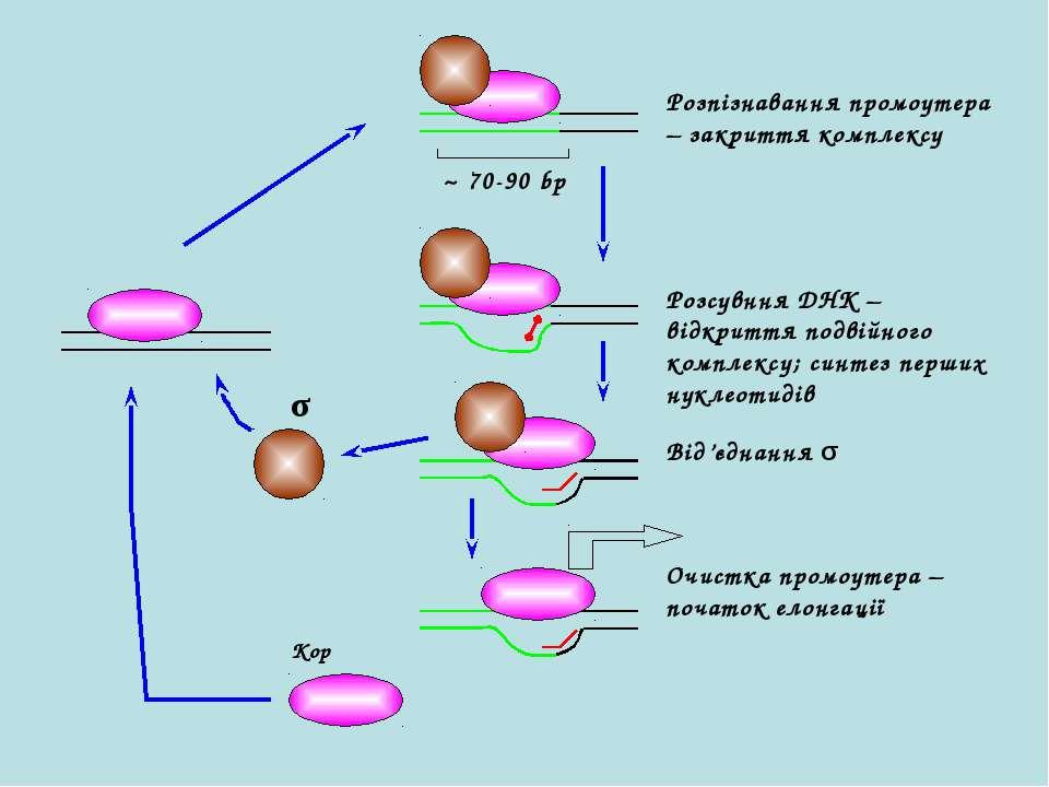 ~ 70-90 bp Кор σ Розпізнавання промоутера – закриття комплексу Розсувння ДНК ...