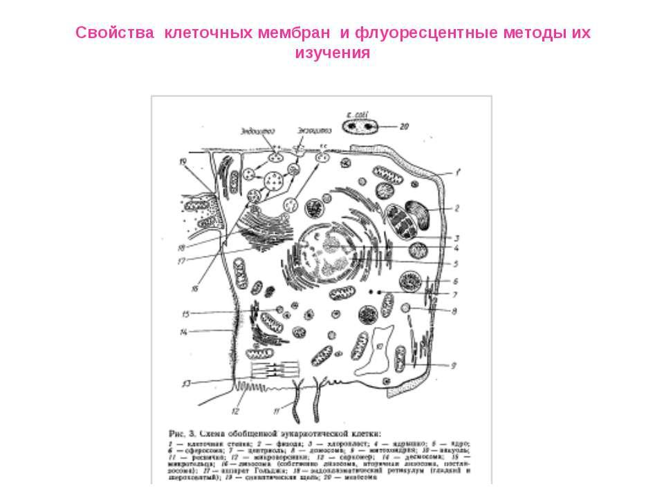 Свойства клеточных мембран и флуоресцентные методы их изучения