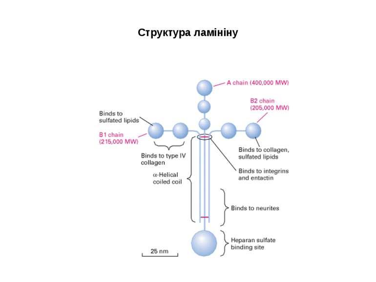 Структура ламініну