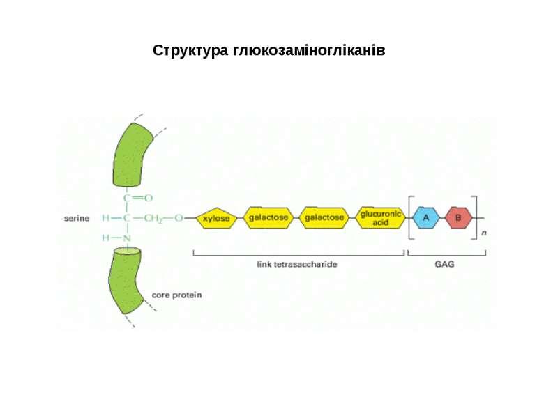 Структура глюкозаміногліканів