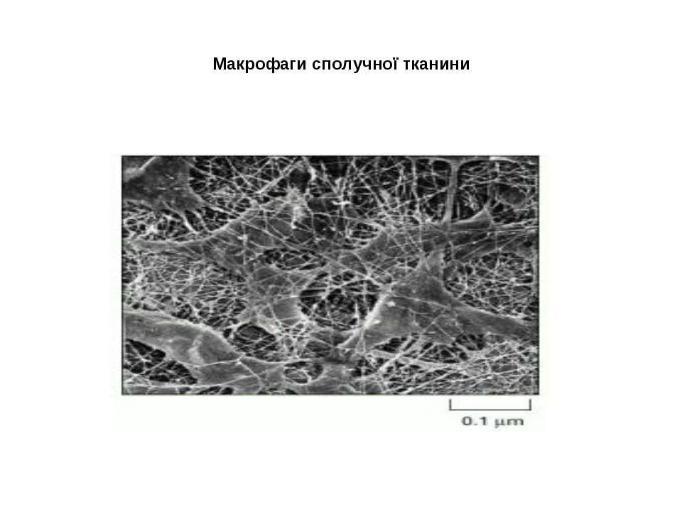 Макрофаги сполучної тканини