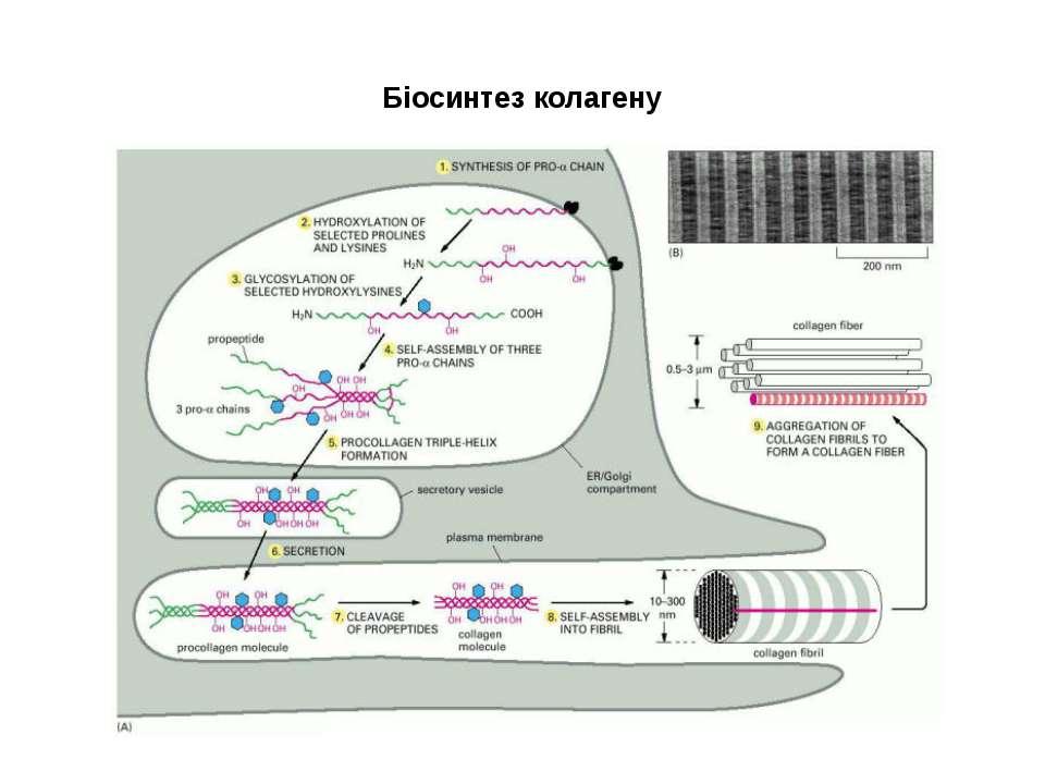 Біосинтез колагену