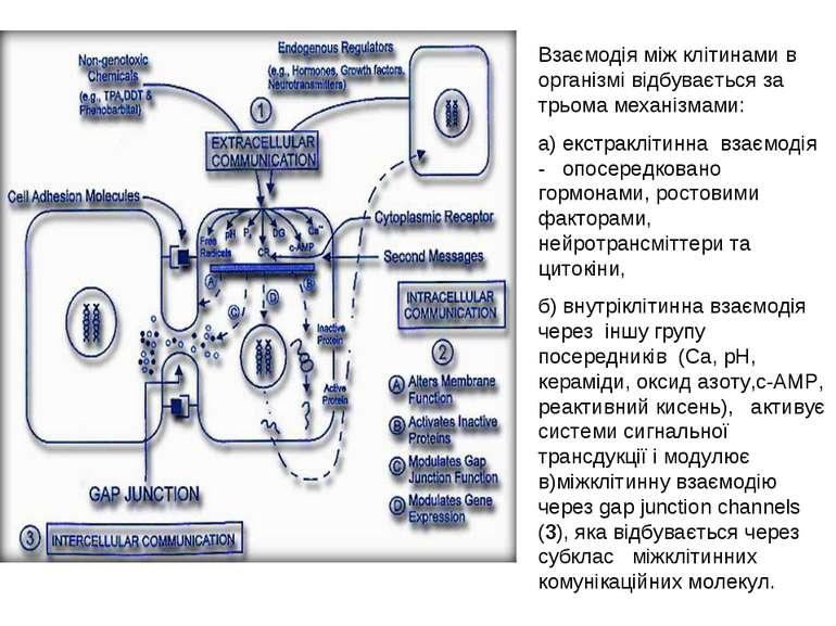 Взаємодія між клітинами в організмі відбувається за трьома механізмами: а) ек...