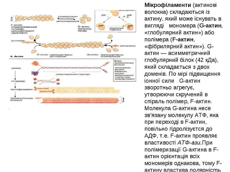 Мікрофіламенти (актинові волокна) складаються із актину, який може існувать в...