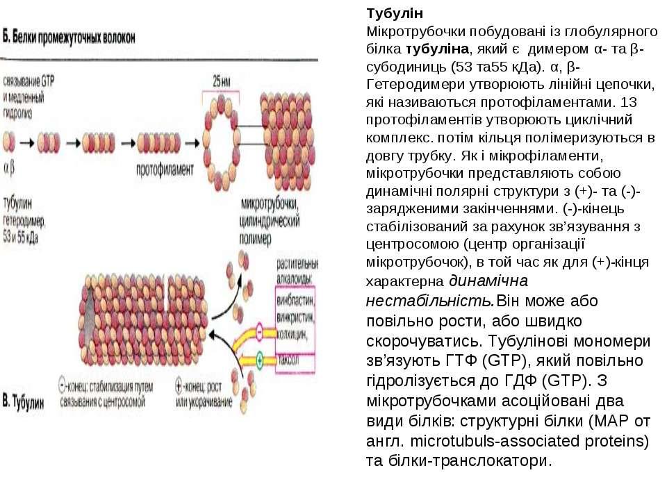 Тубулін Мікротрубочки побудовані із глобулярного білка тубуліна, який є димер...