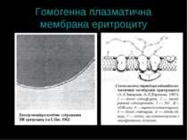 Гомогенна плазматична мембрана еритроциту