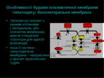Особливості будови плазматичної мембрани гепатоциту: базолатеральна мембрана ...