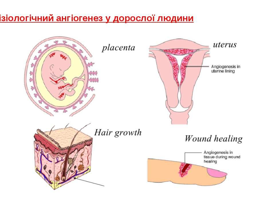 Фізіологічний ангіогенез у дорослої людини