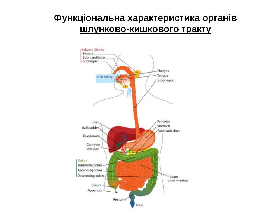 Функціональна характеристика органів шлунково-кишкового тракту