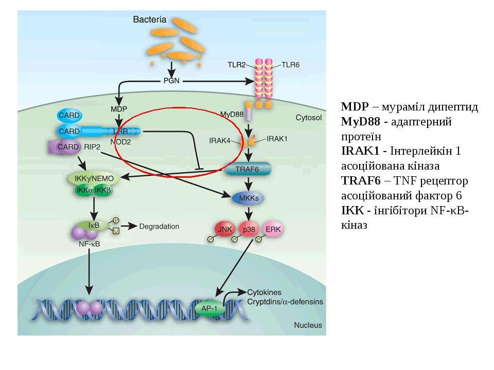 MDP – мураміл дипептид MyD88 - адаптерний протеїн IRAK1 - Інтерлейкін 1 асоці...