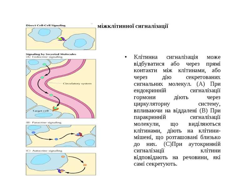 Способи міжклітинної сигналізації Клітинна сигналізація може відбуватися або ...