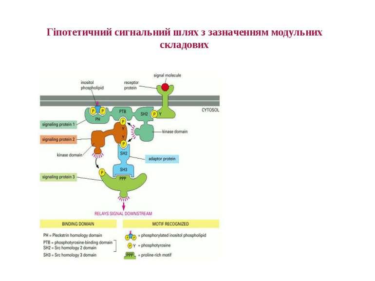 Гіпотетичний сигнальний шлях з зазначенням модульних складових