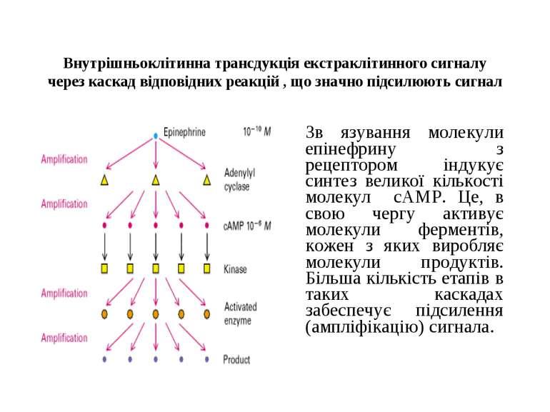 Внутрішньоклітинна трансдукція екстраклітинного сигналу через каскад відповід...