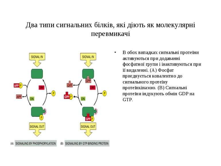 Два типи сигнальних білків, які діють як молекулярні перевмикачі В обох випад...