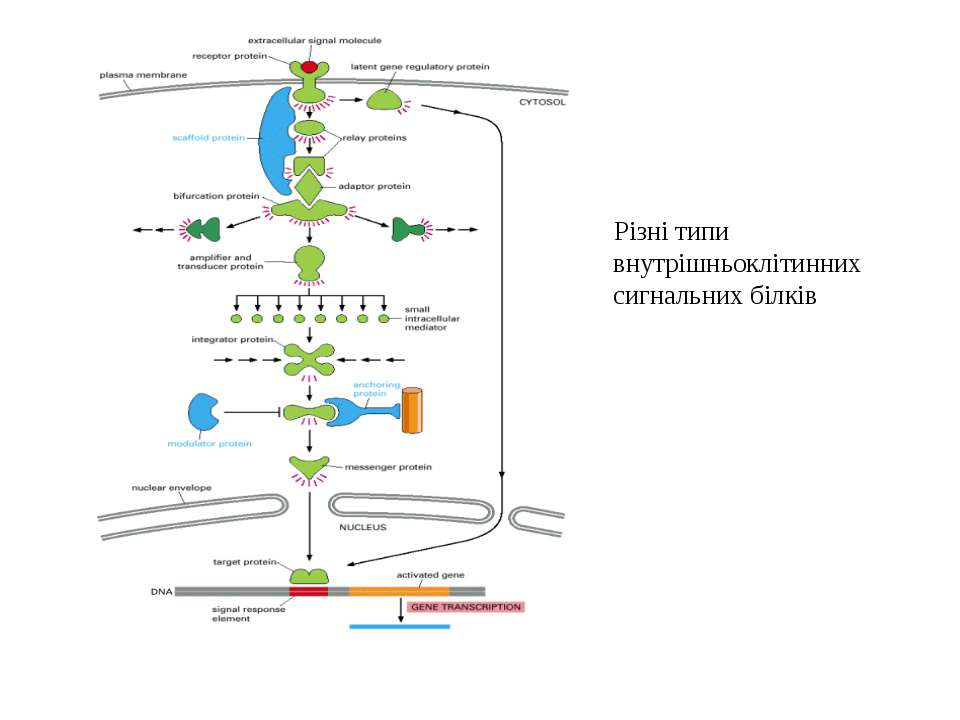 Різні типи внутрішньоклітинних сигнальних білків