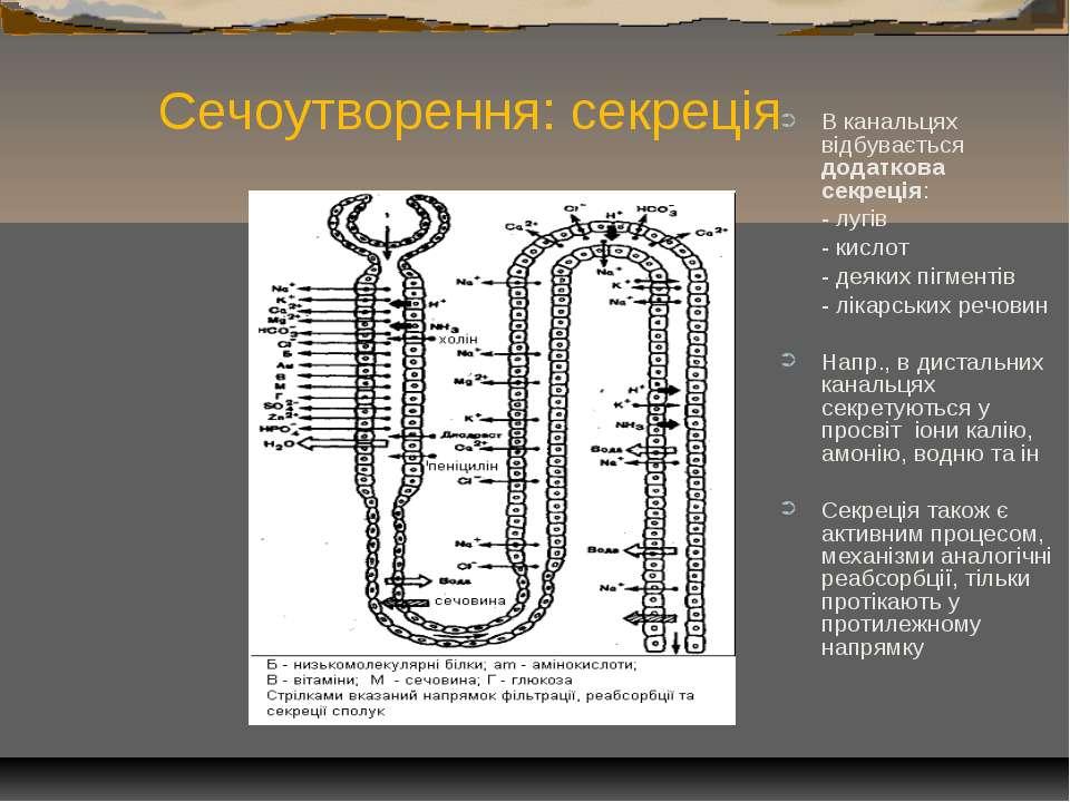 Сечоутворення: секреція В канальцях відбувається додаткова секреція: - лугів ...