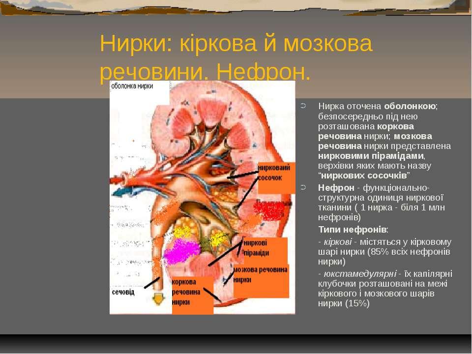 Нирки: кіркова й мозкова речовини. Нефрон. Нирка оточена оболонкою; безпосере...