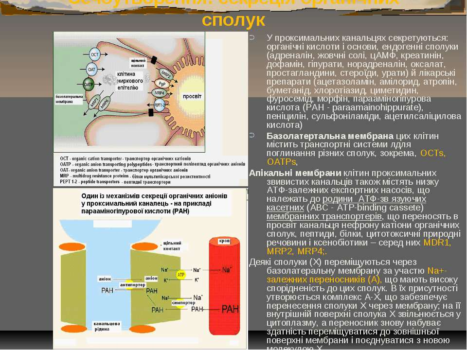 Сечоутворення: секреція органічних сполук У проксимальних канальцях секретуют...