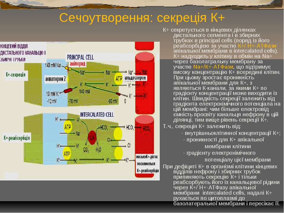 Сечоутворення: секреція К+ К+ секретується в кінцевих ділянках дистального се...