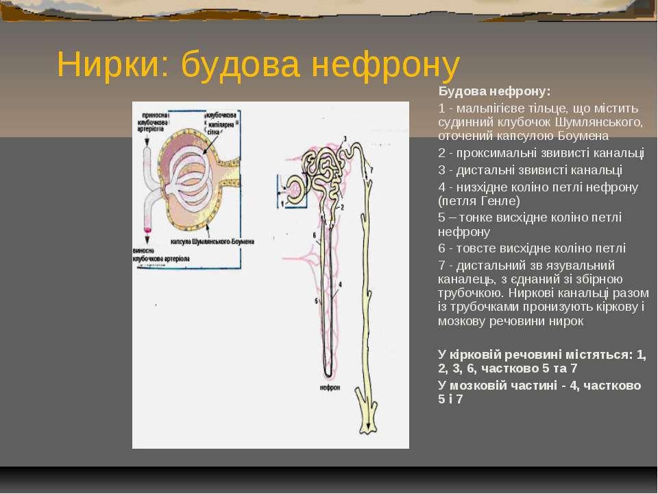 Нирки: будова нефрону Будова нефрону: 1 - мальпігієве тільце, що містить суди...