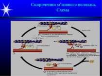Скорочення м'язового волокна. Схема