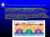RYR і стимуляція скорочення гладенького м язу В гладеньких м язах, як і у сер...