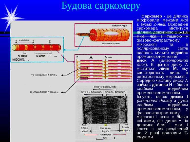 Будова саркомеру Саркомер - це ділянка міофібрили, межами якої є вузькі Z-лін...