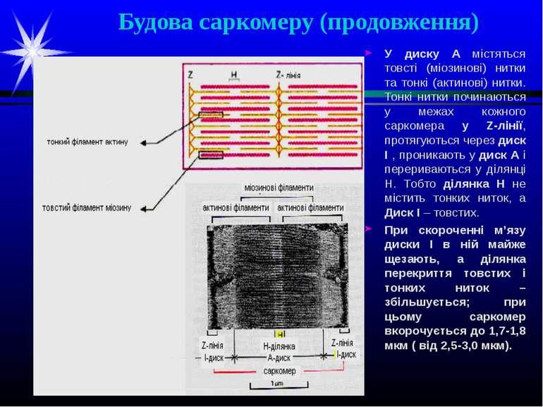 Будова саркомеру (продовження) У диску А містяться товсті (міозинові) нитки т...