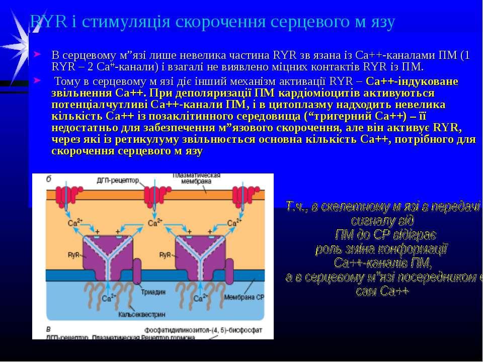 """RYR і стимуляція скорочення серцевого м язу В серцевому м""""язі лише невелика ч..."""