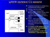 цАМФ-залежні С1-канали Секретин взаємодіє із своїми базо-латеральними рецепто...