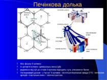 Печінкова долька Має форму 6-кутника В центрі 6-кутника- центральна вена (ЦВ)...