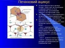 Печінковий ацинус Це мікроциркуляторна одиниця печінки - група гцтів, які лок...