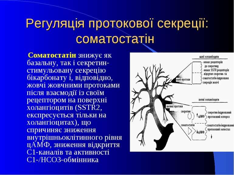 Регуляція протокової секреції: соматостатін Соматостатін знижує як базальну, ...