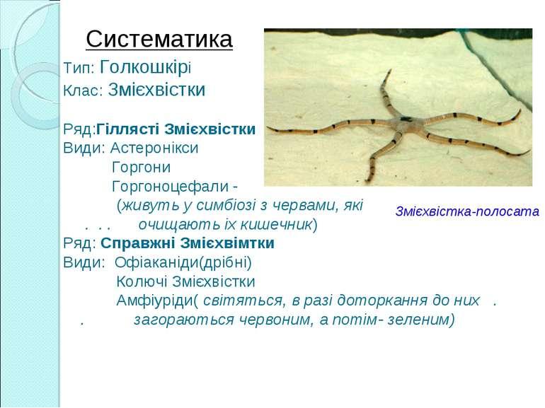 Тип: Голкошкірі Клас: Змієхвістки Ряд:Гіллясті Змієхвістки Види: Астеронікси ...