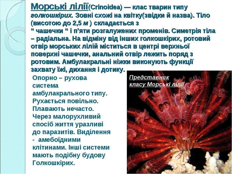 Морські лілії(Crinoidea) — клас тварин типу голкошкірих. Зовні схожі на квітк...