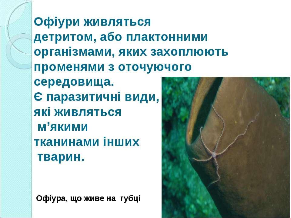 Офіури живляться детритом, або плактонними організмами, яких захоплюють проме...