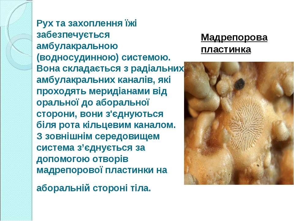 Рух та захоплення їжі забезпечується амбулакральною (водносудинною) системою....