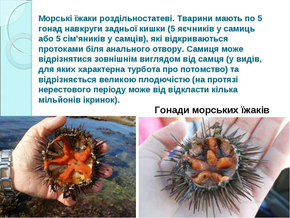 Морські їжаки роздільностатеві. Тварини мають по 5 гонад навкруги задньої киш...