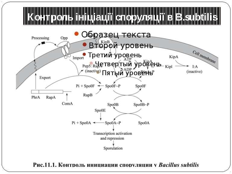 Контроль ініціації споруляції в B.subtilis