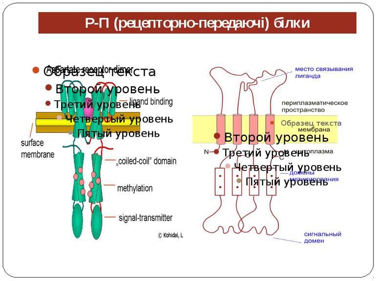 Р-П (рецепторно-передаючі) білки