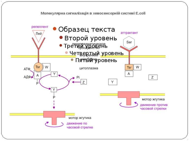 Молекулярна сигналізація в хемосенсорній системі E.coli (А) Р-П-белок Tsr свя...