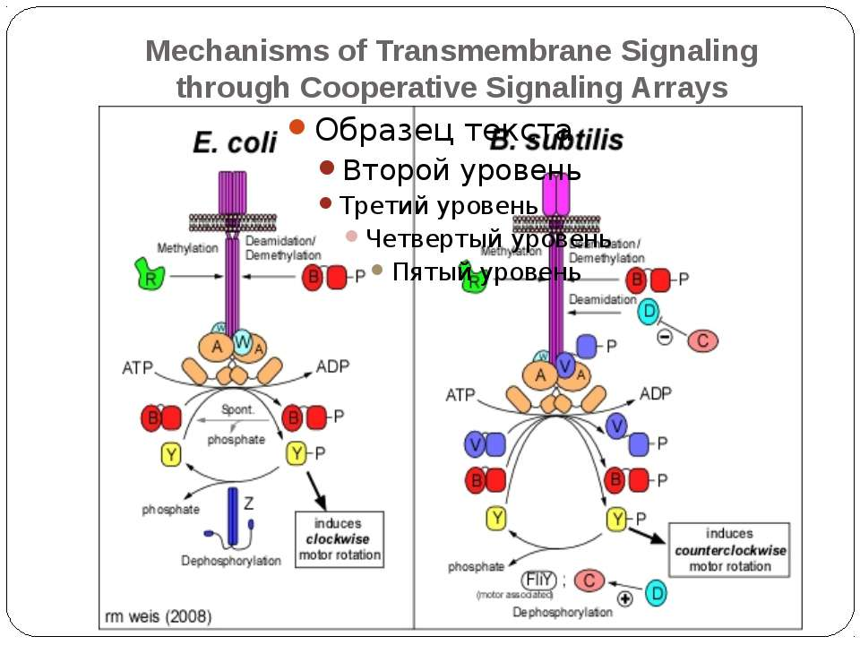 Mechanisms of Transmembrane Signaling through Cooperative Signaling Arrays