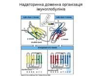 Надвторинна доменна організація імуноглобулінів