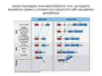 Схема перебудови генів імуноглобулінів: гени, що кодують варіабельні домени, ...