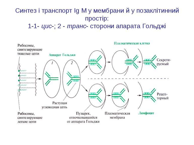 Синтез і транспорт Ig М у мембрани й у позаклітинний простір: 1-1- цис-; 2 - ...