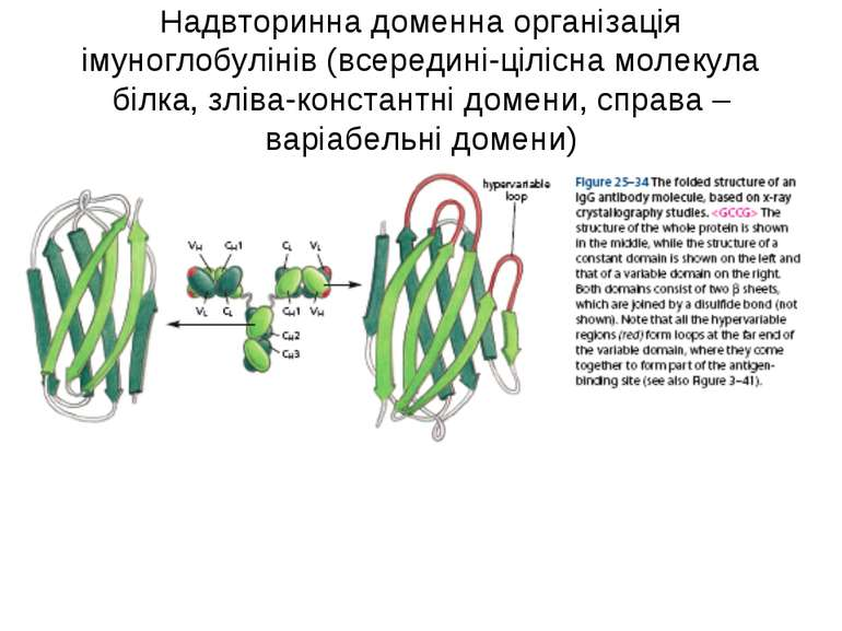Надвторинна доменна організація імуноглобулінів (всередині-цілісна молекула б...