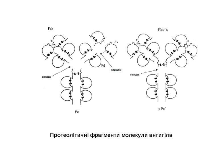 Протеолітичні фрагменти молекули антитіла